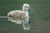Mute Swan ( Cygnus olor),young swimming, Lake of Zug, Switzerland