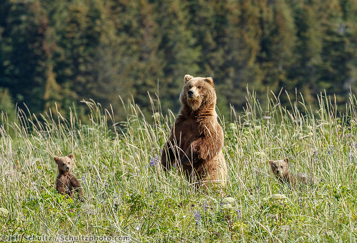 Brown Bear sow and three (triplets) cubs in grass meadow in Lake Clark National Park.  Silver Salmon Creek area. Western Alaska  Summer<br /> <br /> Photo by Jeff Schultz/  (C) 2020  ALL RIGHTS RESERVED