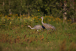 Sandhill cranes in northern Wisconsin.