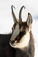 Portrait of a chamois buck