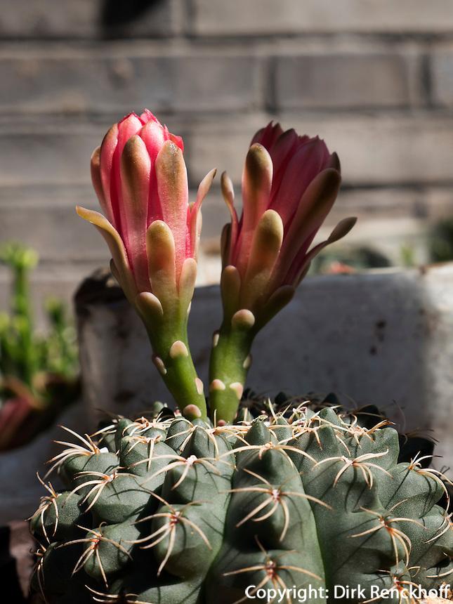 Kaktus auf Kleintiermarkt an der Fuxingmen Dajie, Peking, China, Asien<br /> Cactus at Petmarket at Fuxingmen Dajie, Beijing, China, Asia