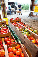 Fresh heirloom tomatos packed for shipping, Viridian Farms, Oregon