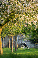 France, Calvados (14), Pays d' Auge, Villerville: Vaches en pâturage et pommiers en fleurs // France, Calvados, Pays d' Auge, Villerville: Grazing cows and flowering apple trees
