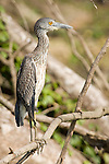 Monkey River, Belize, Central America; a juvenile Yellow-crowned night-heron (Nyctanassa violacea) stands perched on a tree branch at the edge of the Monkey River , Copyright © Matthew Meier, matthewmeierphoto.com All Rights Reserved