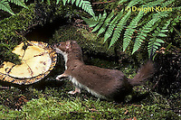 MA28-108z  Short-Tailed Weasel - ermine in brown summer coat trying to eat turtle - Mustela erminea