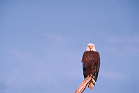 Mature Adult Bald Eagle (Haliaeetus leucocephalus) perched on Tree Stump