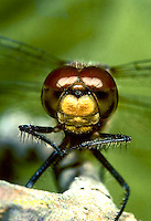 1O06-004z  Skimmer Dragonfly face and compound eyes