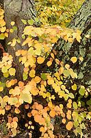 katsura tree, Arnold Arboretum, autumn, Boston, MA