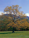 Great Smoky Mountains National Park, TN/NC<br /> A statuesque Black Oak (Quercus velutina) in the open fields of Cades Cove in early spring