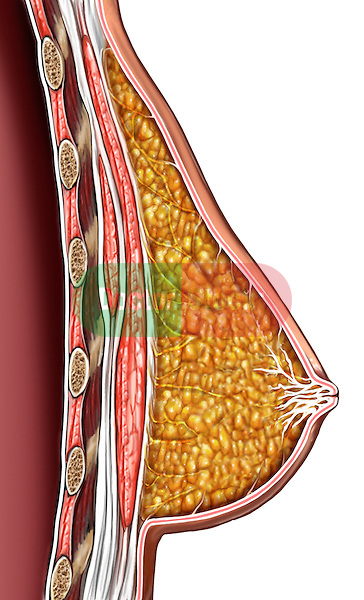 Female Breast Anatomy, Side Cut-away View.