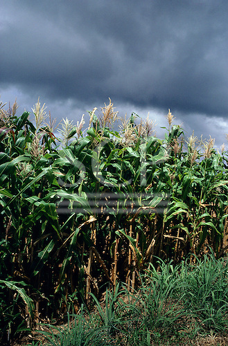 Goias, Brazil. Plantation of maize with threatening cloudy sky.