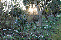 Naturalising Snowdrops in the Nuttery