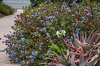Ceratostigma plumbaginoides (Dwarf Plumbago) flowering groundcover, Los Angeles County Arboretum and Botanic Garden