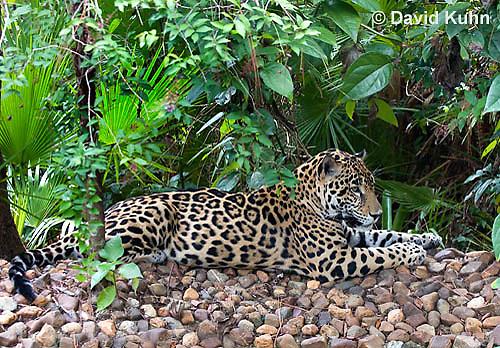 0615-1103  Jaguar, Belize, Panthera onca  © David Kuhn/Dwight Kuhn Photography