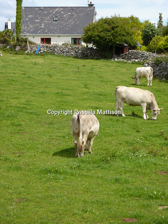 Kinvara, Ireland - July 17, 2010:  Cows graze in front of a cottage.