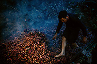Tan A De checks the black cardamom fruit (Thao Qua) as they are dried on a bamboo rack over a fire. After drying the weight of the cardamom is reduced by two thirds making it smaller and easier to pack and transport out of the Hoang Lien Son National Park where it is grown.