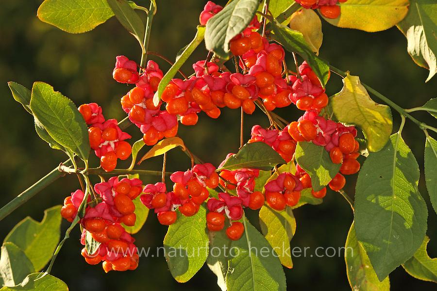 Europäisches Pfaffenhütchen, Früchte, Frucht, Gewöhnlicher Spindelstrauch, Pfaffenkäppchen, Euonymus europaeus, common spindle, European spindle, fruit