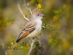 Ash-throated Flycatcher, Lake Pleasant, Arizona