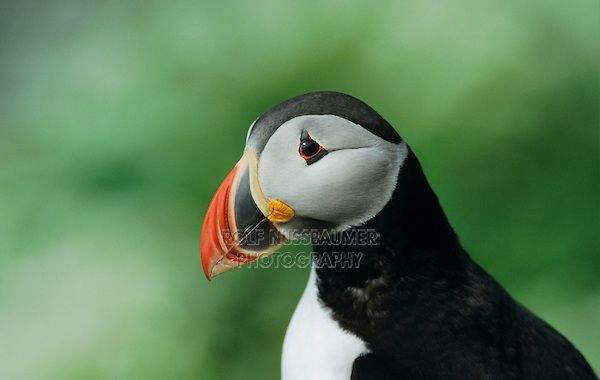 Atlantic Puffin, Fratercula arctica, adult, Hornoya Nature Reserve, Vardo, Norway, June 2001