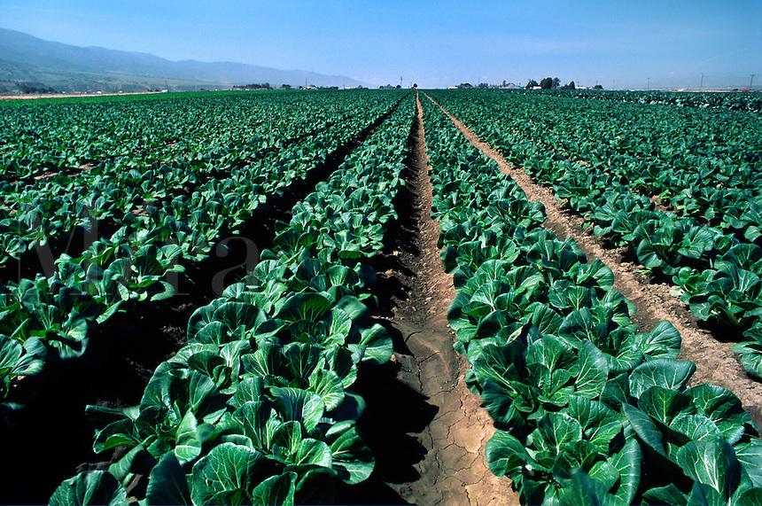 Field of Bok Choy - Salinas Valley, California