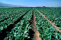 Field of Bok Choy - Salinas Valley, California