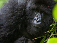 This mother was holding onto what was, at the time, the youngest mountain gorilla baby on the planet. We only got brief glimpses of the two-year-old.