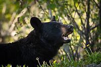 A Black Bear eats dandelions beside a road in Southcentral Alaska.