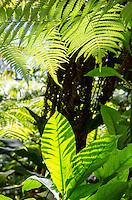 Native rainforest leaves and ferns on the trail to 'Akaka Falls, Big Island of Hawai'i.