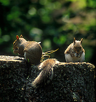 Two squirrels eating on a tree stump.<br />