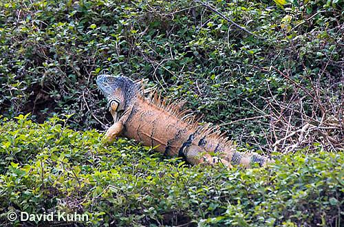 0625-1101  Male Green Iguana (Common Iguana), On River Bank in Belize, Iguana iguana  © David Kuhn/Dwight Kuhn Photography