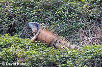 0625-1101  Male Green Iguana (Common Iguana), On River Bank in Belize, Iguana iguana  © David Kuhn/Dwight Kuhn Photography