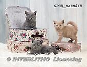 Xavier, ANIMALS, REALISTISCHE TIERE, ANIMALES REALISTICOS, cats, photos+++++,SPCHCATS849,#a#