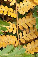 Osmunda cinnamonea fern AGM in autumn, cinnamon fern in fall color foliage