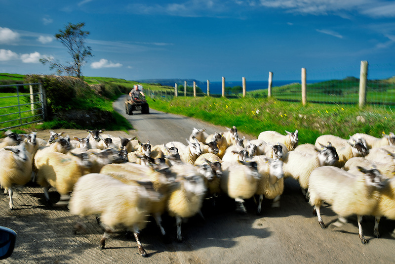 Sheep being moved down road. Torr Head. Northern Ireland.
