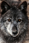 Gray wolf mixed chocolate color phase facing camera close-up of face, vertical