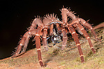 Russet Burrowing Tarantula (possibly Coremiocnemis sp.) eating insect prey. Danum Valley, Sabah, Borneo.