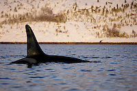 Adult male Killer whale surfacing close to snow covered shore