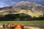 Highland Cattle, Scotland.