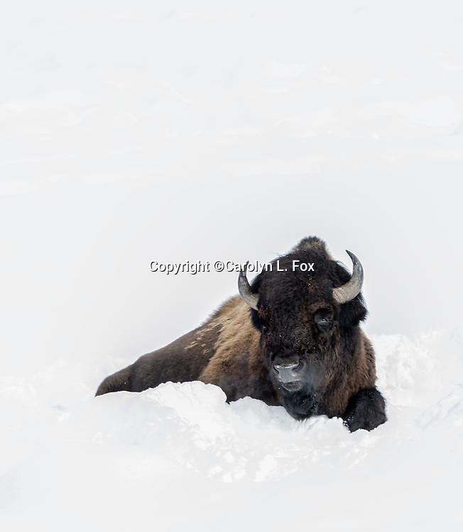 Bison are a frequent site in Yellowstone National Park.