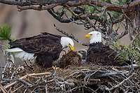 Bald Eagle Nest (Haliaeetus leucocephalus)--both adults with several week old eaglet in tall ponderosa pine tree.  Oregon.  April.  One adult is moving fresh nesting material about nest.