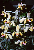 Phalaenopsis celebensis orchid species from Celebes Islands, Sulawesi