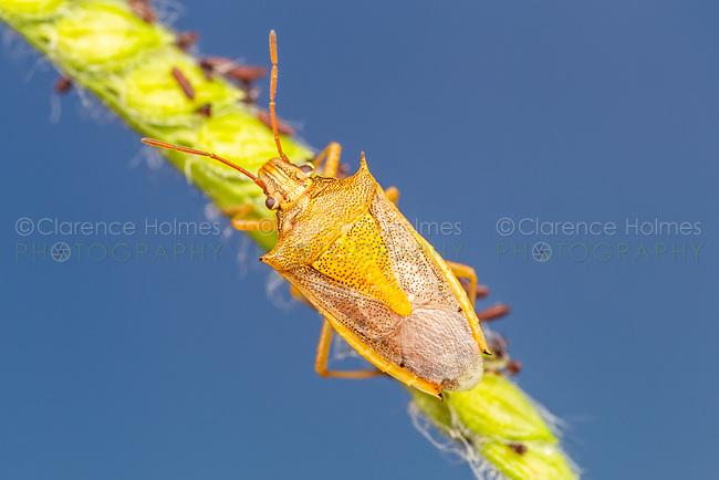 Rice Stink Bug (Oebalus pugnax)