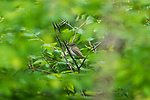 Red-eyed vireo feeding in a northern Wisconsin woodland.