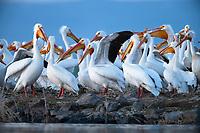 American White Pelican (Pelecanus erythrorhynchos) colony. Lake County, Oregon. April.