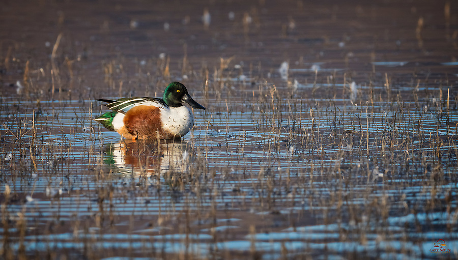Northern Shoveler (Anas clypeata) drake, in a brief moment with his head above the water.<br />  <br /> Bosque del Apache National Wildlife Refuge, New Mexico.