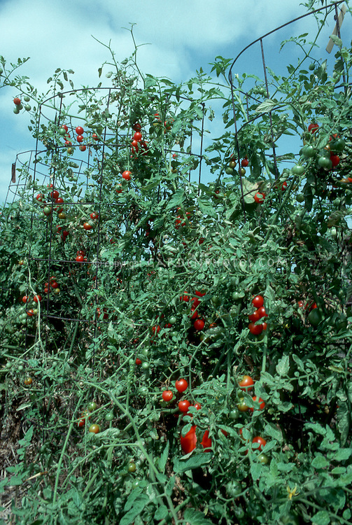 Cherry tomatoes Sweet 100 growing on plant in staked cages in garden, with blue sky