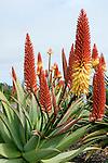 Spain, Canary Islands, La Palma, aloe vera, plant