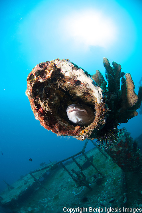 Hawaiian conger inside the exhaut pipe of the st Anthonys wreck Maui Hawaii.65 feet deep.