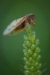 Cicada resting on a Liatris wildflower