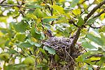 Eastern kingbird chick in a nest in an apple tree.